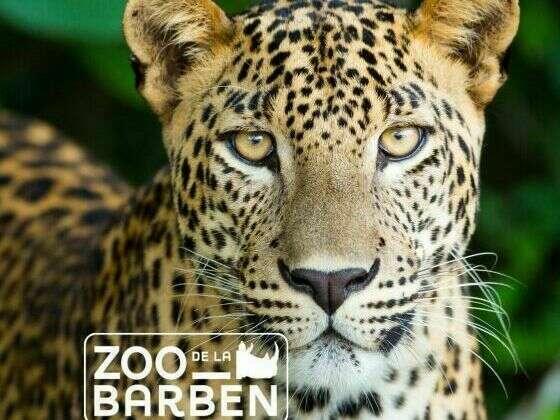 zoo_barben_-_panthere_-_2018__1_1_1_1