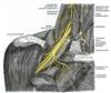 nerf phrénique cervical