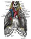nerf phrénique gray