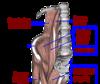 muscle-psoas-iliaque