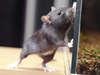 Super dératiseur propose ses services d'extermination de souris sur paris