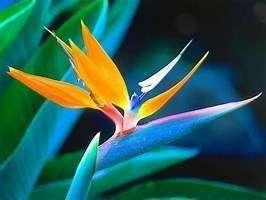 oiseau_du_paradis