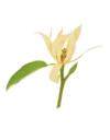 Hypnose magnolia 2