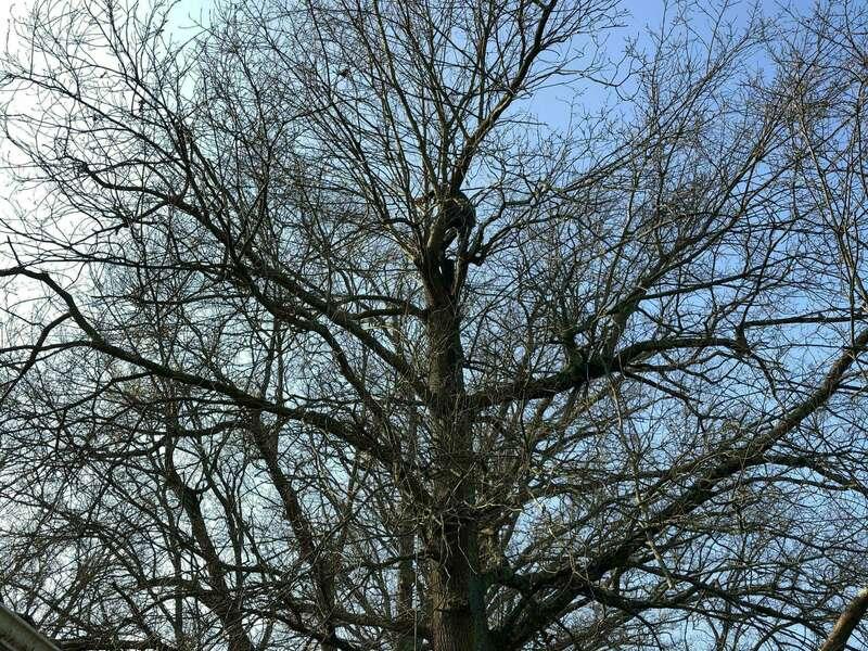 Élagage d'un chêne à Bordeaux  qui débordé sur la toiture.