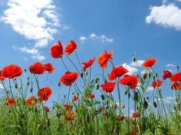depositphotos_24353033-stock-photo-red-poppies