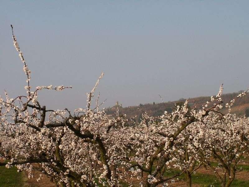 arbres_en_fleurs_