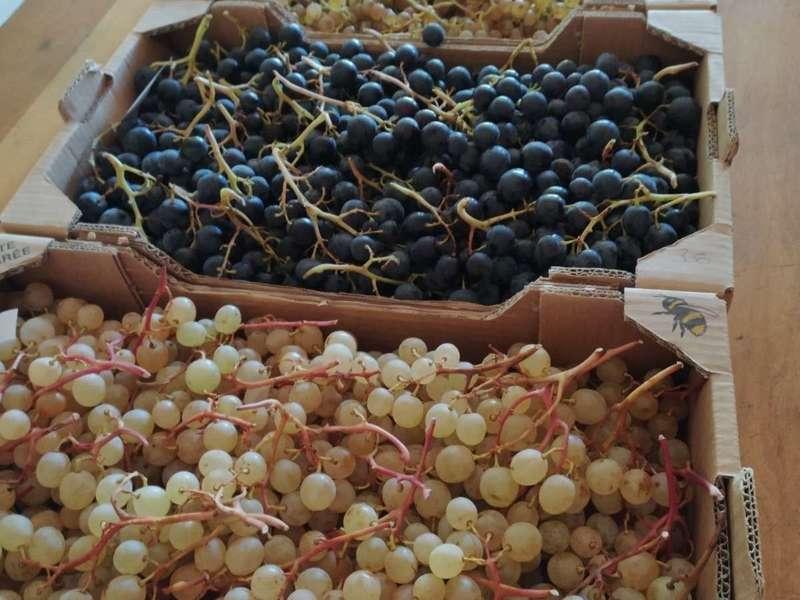 5 variétés du raisin de Christine :  Danlas, Chasselas, Alphonse Lavallée, Exalta et Muscat