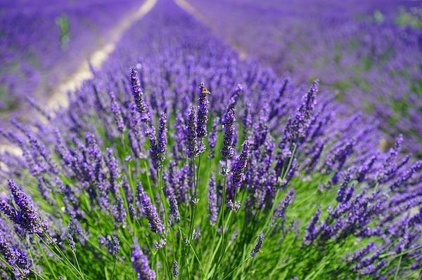 Lavender field 1595587 640