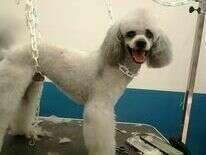 Doggy Chic toilettage de Caniche