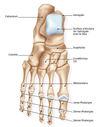 squelette-pied osteo du sport à Nandy proche de savigny le temple lieusaint dammaries les lys 77