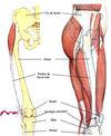 la-bandelette-ilio-tibiale-anatomie ostéopathe du sport 77 syndrome de l'essuie-glace TFL
