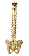 colonne vertebrale dos rachis equitation Osteopathe du sport Nandy proche Melun