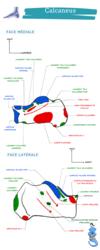 anatomie du calcaneum je suis un genie fiche