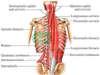 Etudes des muscles profonds en Ostéopathie