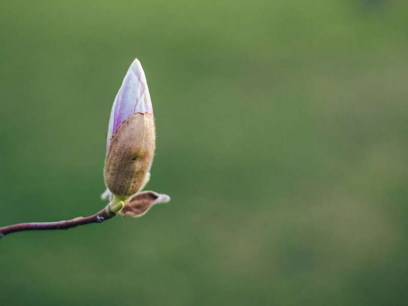 a-single-pink-magnolia-about-to-bloom