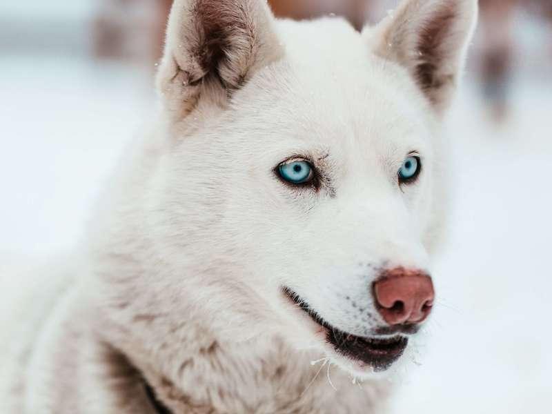 white-sled-dog-with-piercing-blue-eyes