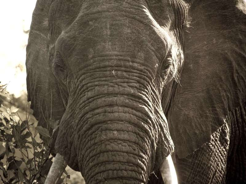african-elephant-close-up
