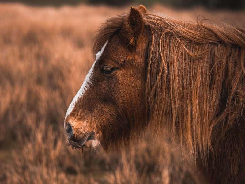 pony-with-an-aurburn-mane