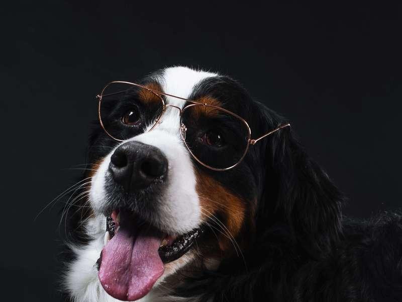 bernese-mountain-dog-wears-glasses
