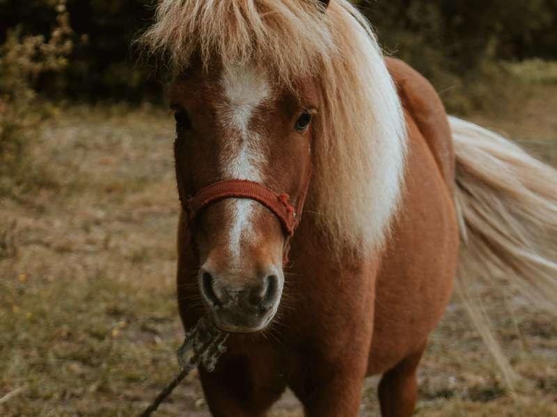 walking-brown-shetland-pony
