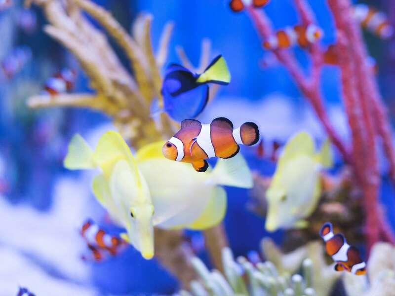 clown-fish-in-aquarium