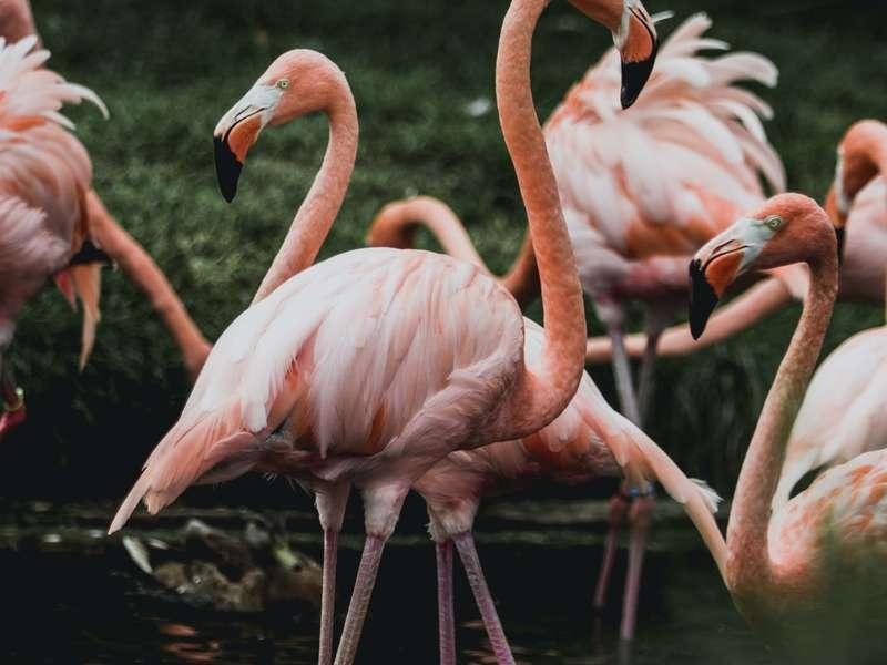 flamingo-in-pond