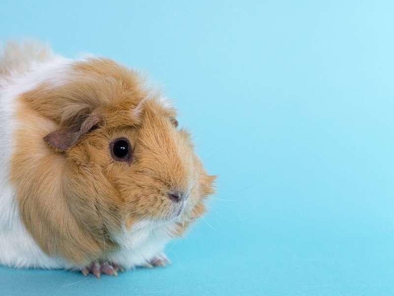 light-brown-guinea-pig