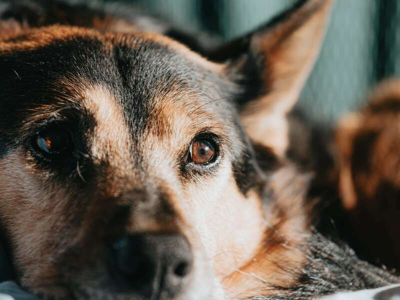 close-up-brown-and-black-dog_-_copie