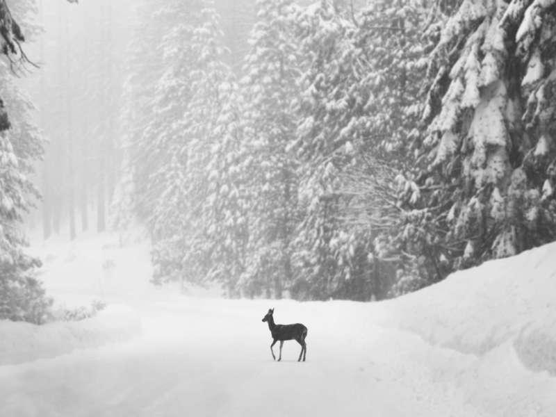 single-deer-on-snow-covered-road