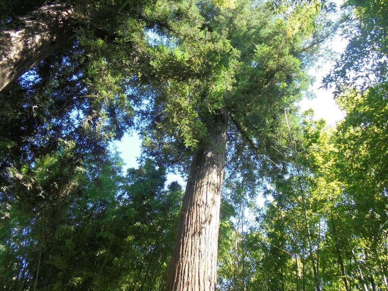 arbre_medit
