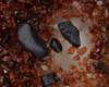 SUDMINE grains de coltan guyane éthique mine sudmine SUDMINE SAS coltan éthique junior française mine tantale niobium transition énergétique guyane française