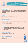 anatomie muscle court extenseur des orteils