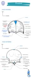 fiche anatomie je suis un genie frontal