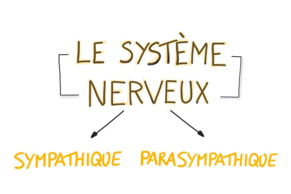 le systeme nerveux comment ca marche