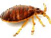 La punaise de lit : un insecte qui pique