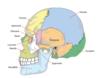 anatomie des os crâne  frontal pariétal occiput temporal