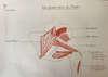 anatomie muscles fessiers abducteurs de la hanche par ostéopathe versailles chantiers