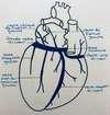 anatomie des veines du coeur sinus coronaire par ostéopathe versailles chantiers